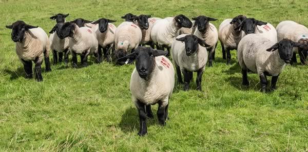 A Passion for Pedigree Suffolk Sheep - Jennifer MacKenzie